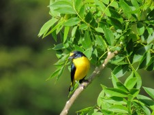 Yellow-throated Euphonia - Celeste Mountain Lodge 3-20-2015